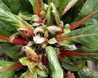 Цикламеновый клещ / phytonemus pallidus