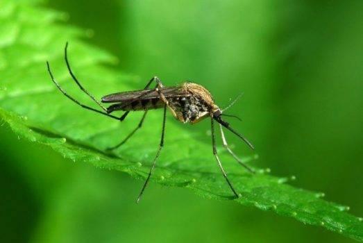 Эфирные масла от комаров: обзор натуральных репеллентов от комаров и мошек