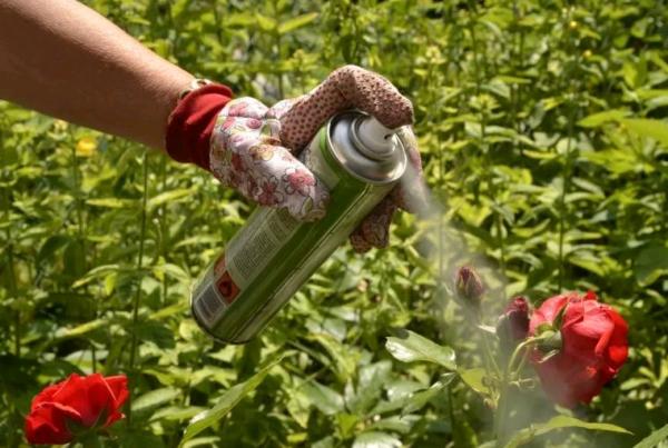 Действенные средства для борьбы с тлей на розах: чем можно обработать куст