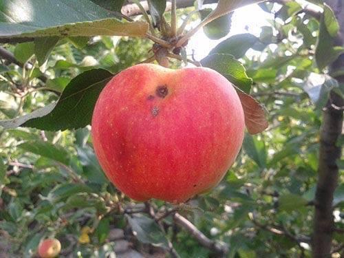 Болезни и вредители яблонь и борьба с ними