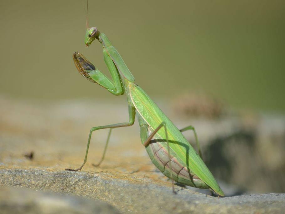 Богомол обыкновенный (mantis religiosa). богомол обыкновенный – живая ловушка для насекомых богомол где