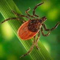 Жуки колорадские и их личинки