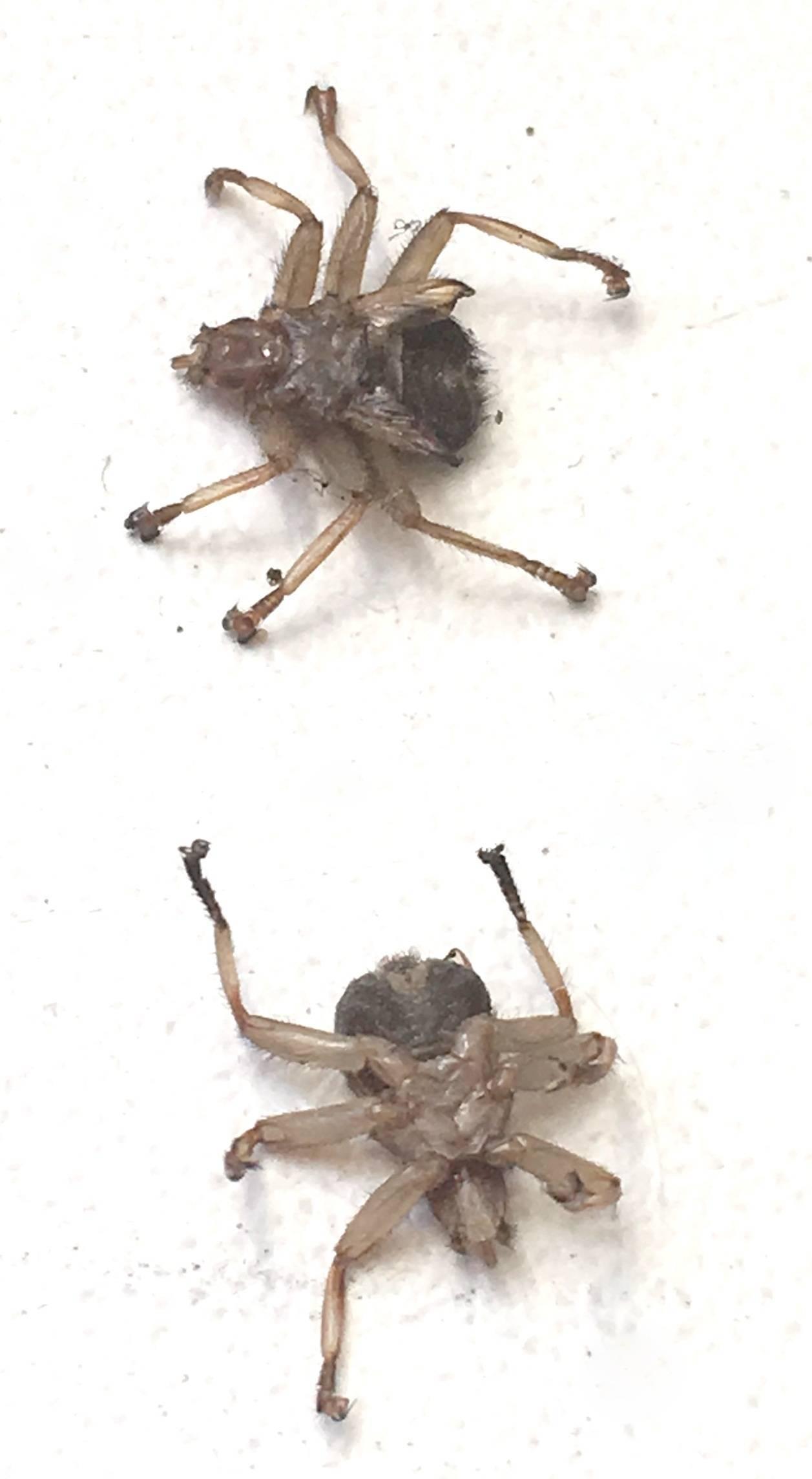 Как отличить клеща от лосиной мухи. опасны ли лосиные вши для здоровья человека? что характерно для лосиных клещей