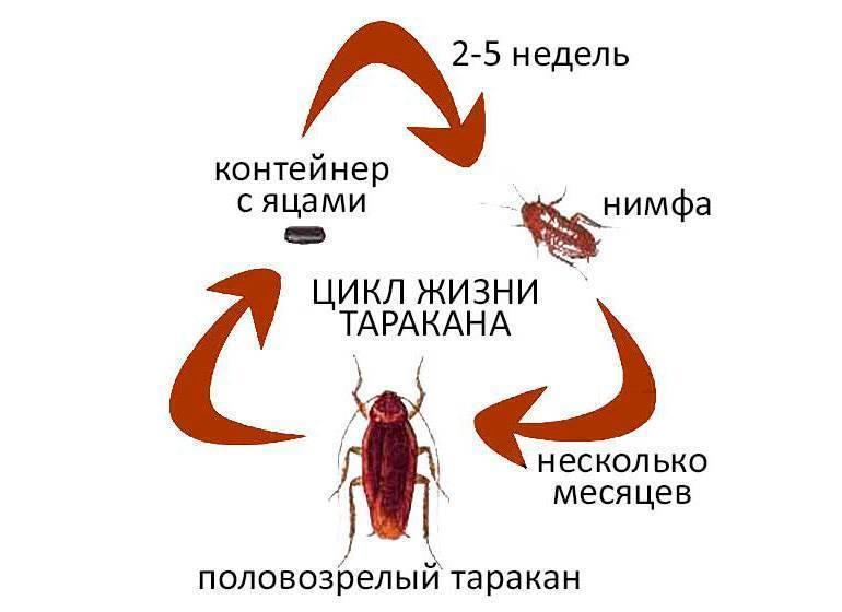 Как домашние тараканы размножаются?