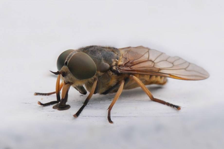 Бычий слепень: описание, особенности и среда обитания. личинка слепня как один из этапов развития насекомого