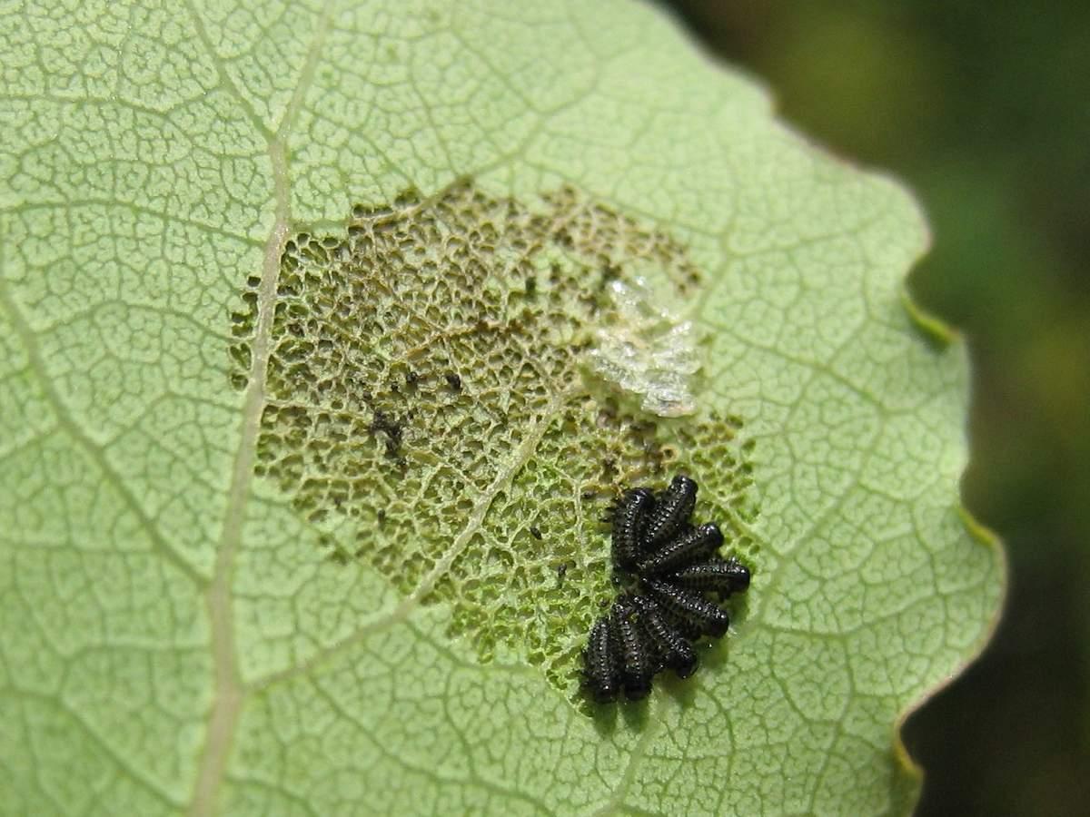 Жук листоед: как бороться с опасным садовым вредителем