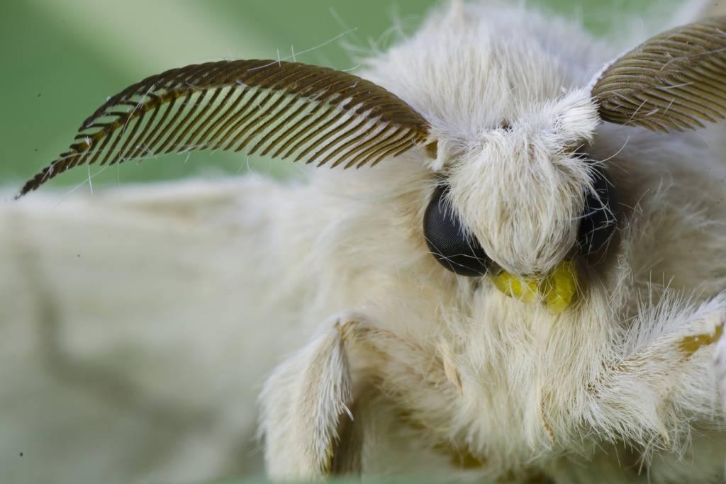 Тутовый шелкопряд – внешний вид, особенности и среда обитания