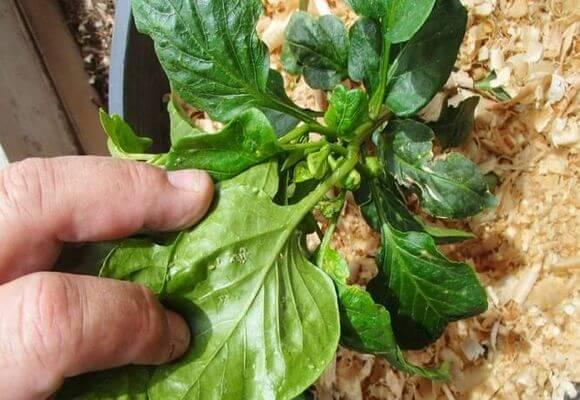 Как избавиться от тли на рассаде перцев и баклажан химическими, биологическими и народными средствами