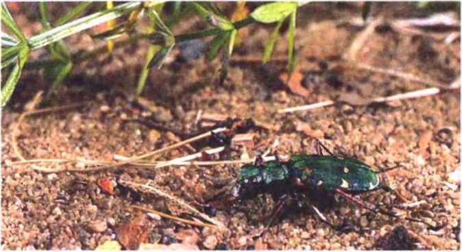 Стрекоза плоская—живой анализатор чистоты водоема