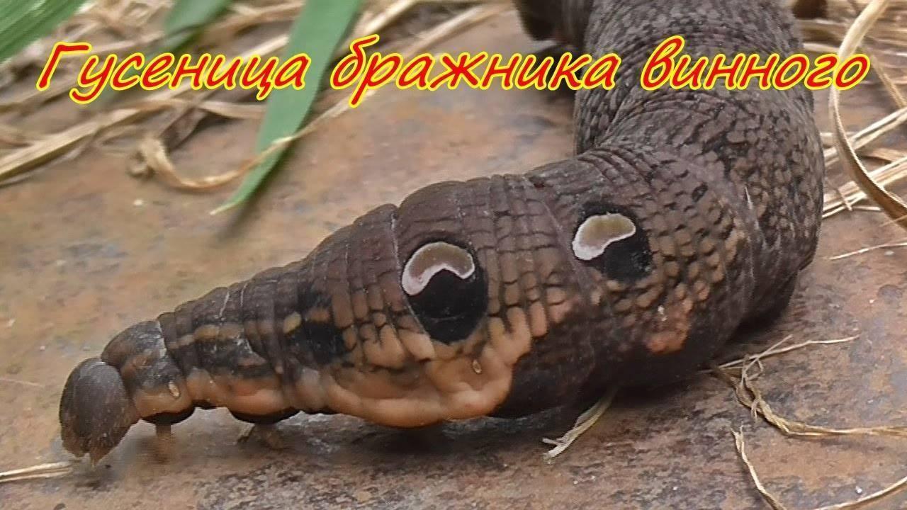 Винный бражник – образ жизни редких бабочек и гусениц. бабочка похожая на колибри