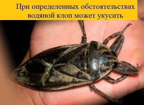 Клоп солдатик: фото жука, описание, способы избавления