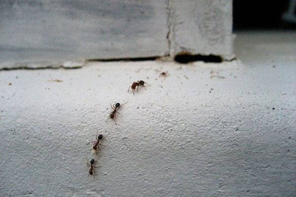 Борная кислота — враг муравьёв