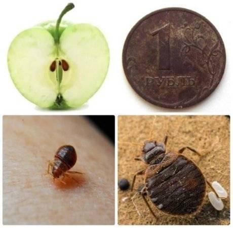Три стадии развития постельных кровососов: яйца, личинки клопов, взрослые насекомые. как размножаются и развиваются эти паразиты