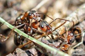 Как избавиться от муравьев в домашних условиях уксусом