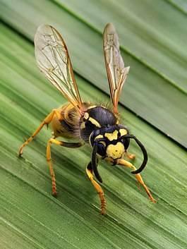 Нападение ос на человека без особой причины: как выглядит укус осы
