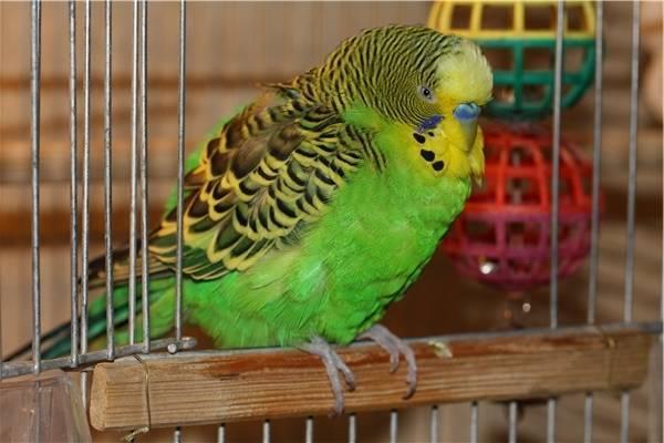 Все о диагностике, лечении и профилактике кнемидокоптоза у птиц