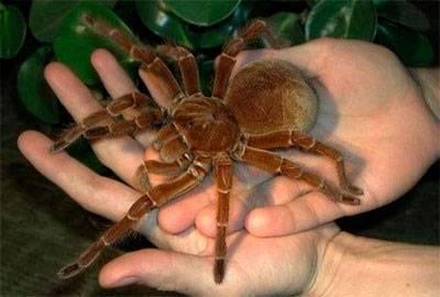 Самый большой паук в мире – кто он?