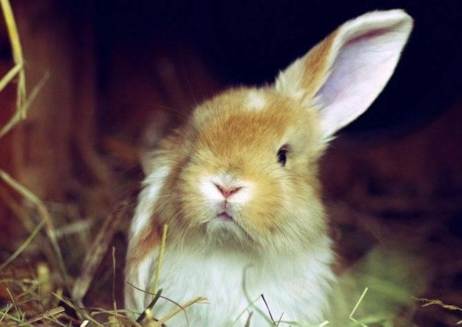 Лечение ушного клеща у кроликов медикаментами и народными средствами