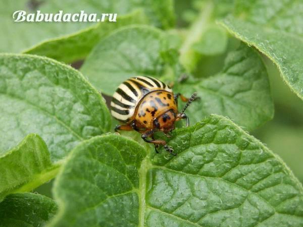 Действительно ли эффективен «Престиж» от колорадского жука?
