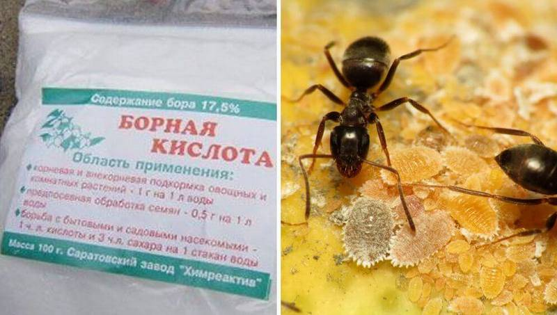 Как избавиться от садовых муравьев на участке?
