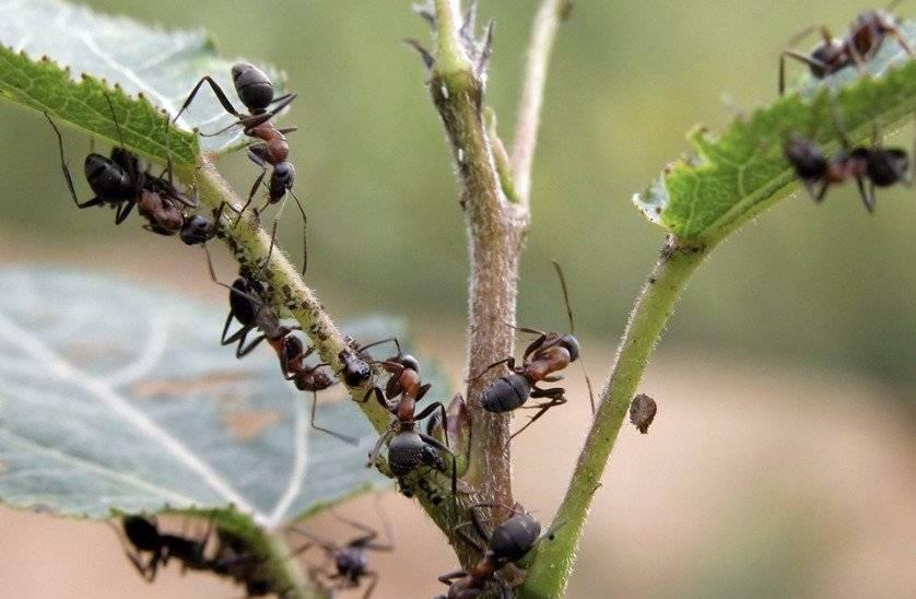 Как избавиться от муравьев с крыльями в доме