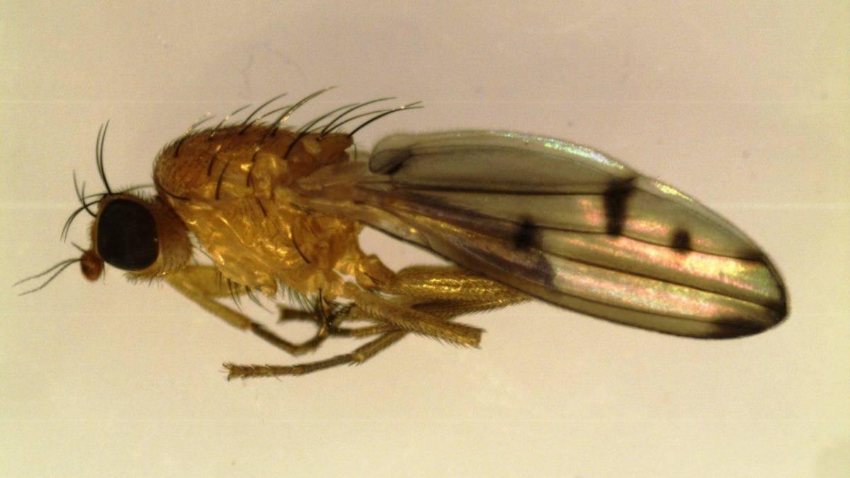 Убийца зерновых — грозная шведская муха