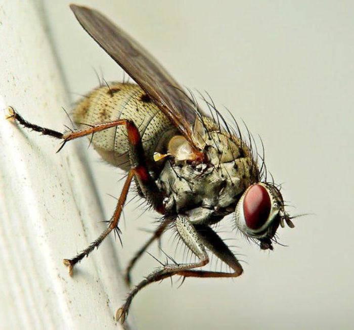 Кусаются ли мухи? почему в конце лета они нападают на людей? почему мухи кусаются в августе? как кусает муха