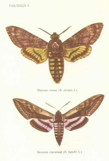 Крупный мотылек. бражник тополевый – ночная бабочка, которая не ест. морфо пелеида - легендарная красавица