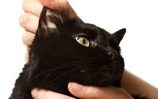 Паразиты кошек: ушной клещ. Симптомы, лечение, профилактика