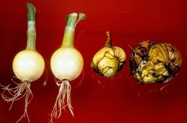 Календарь обработки лука и чеснока от болезней и вредителей