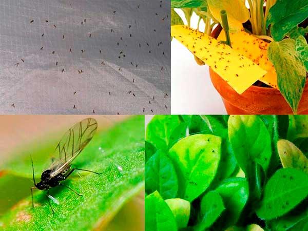 Мошки в комнатных цветах: причины появления и способы избавления