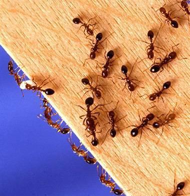15 способов, как избавиться от садовых муравьев