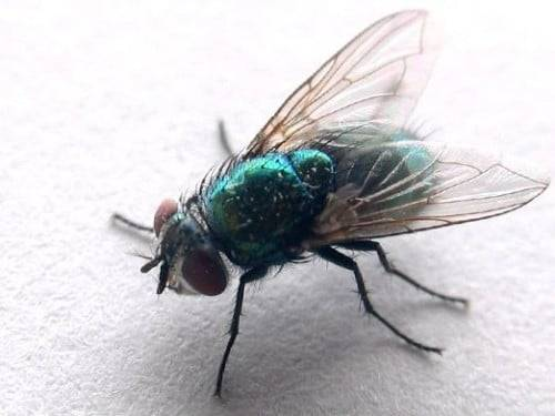Как размножаются мухи обыкновенные