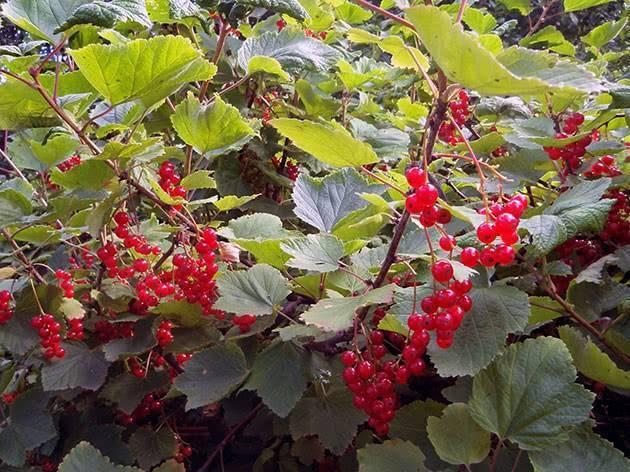 Вредители смородины и способы борьбы с ними