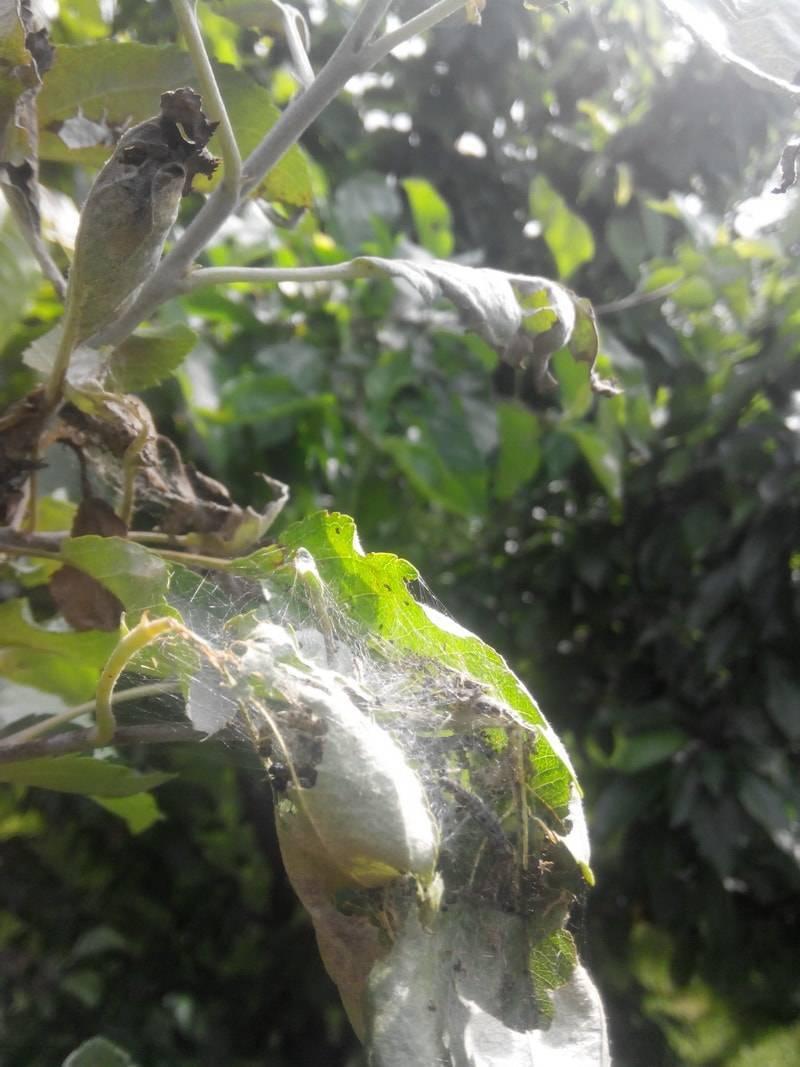 Чем опрыскать хвойные деревья от гусениц: эффективные народные средства и препараты