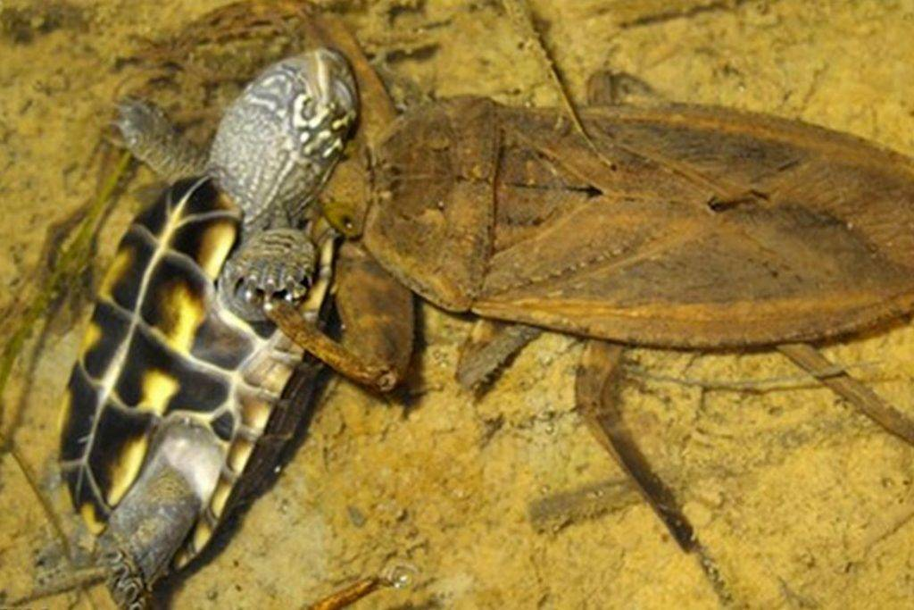 Водяные клопы гладыши. страшен ли укус насекомого?
