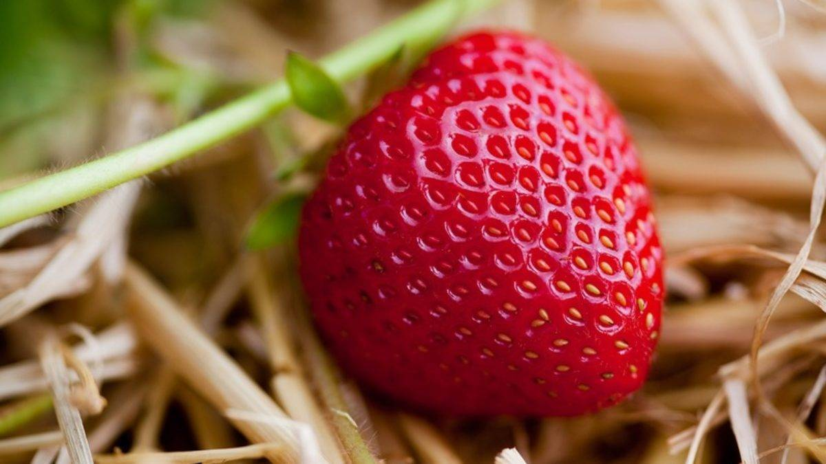 Чем обработать землянику весной: препараты и народные средства