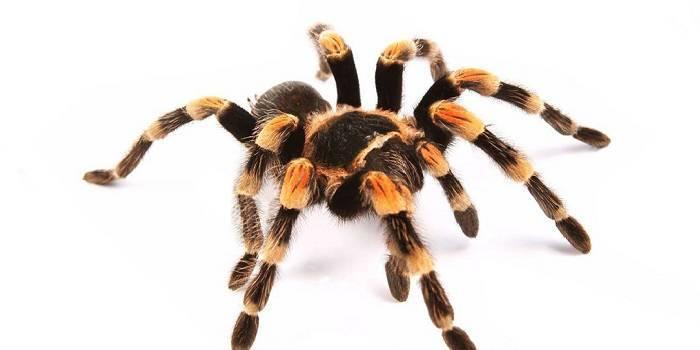 Огромный белый паук