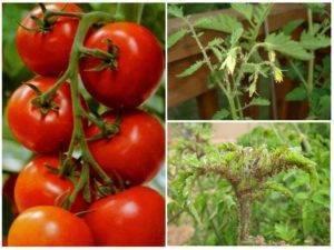 Как бороться с черной тлей на помидорах и огурцах