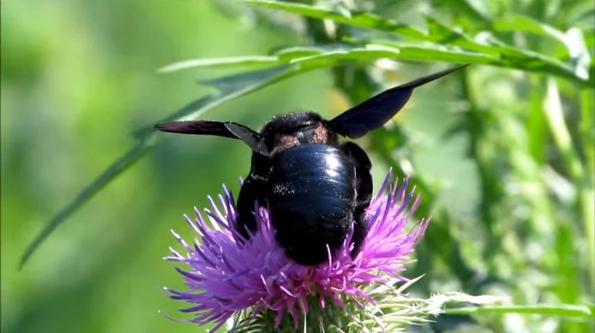 Xylocopa violacea – фиолетовый шмель-плотник