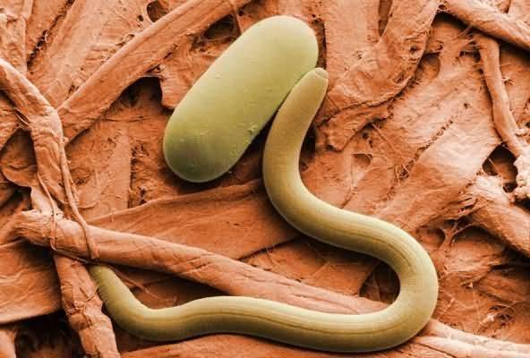 Химические препараты от нематоды в почве. нематодные болезни у растений. борьба со стеблевой нематодой на огороде
