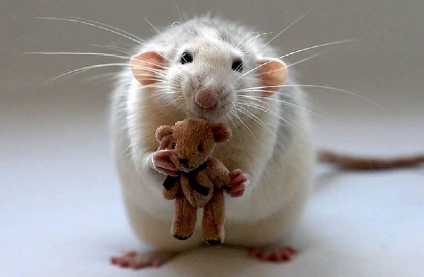 Сколько живут крысы