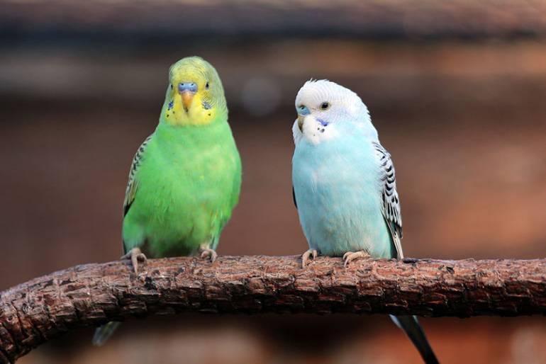 Трахейный клещ у попугая: симптомы и лечение домашнего питомца