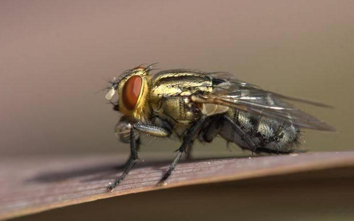 Мясная муха: описание, личинки, срок жизни. мясная муха: описание, личинки, срок жизни ю.б. «аиф»: как от них защититься