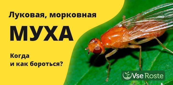 Методы борьбы с морковной мухой на огородных грядках: эффективные народные способы