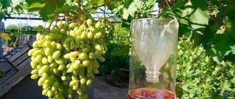 Как уберечь виноград от ос: лучшие методы защиты