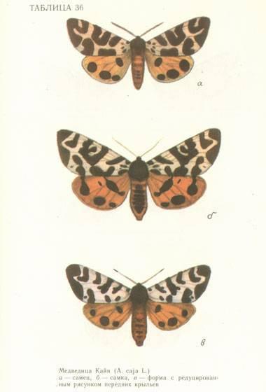 Бабочки–медведицы. бабочка медведица госпожа – летнее чудо у ручья гусеница ночной бабочки медведицы кайи