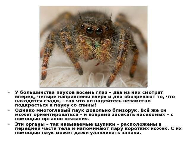 Тарантул — паук-милашка