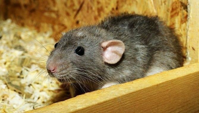 Что делать, если вас укусила крыса — советы врача и пошаговая инструкция