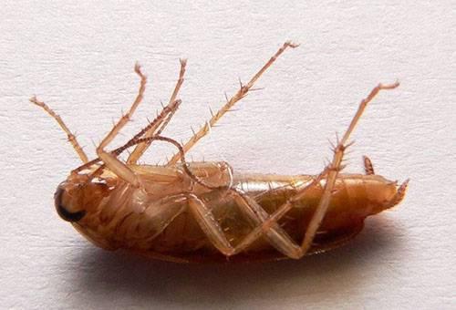 Сколько живут тараканы рыжие и черные в квартире